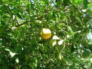 master-cleanse-lemon